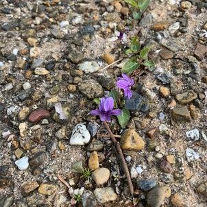 もうひとつの春を見逃していませんか?貴重な存在の紫色の画像