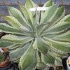 Agave 竜舌蘭の画像