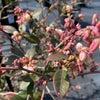ブルーベリーの花は小さなベル型の白い花なんですの画像