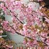 10年前の桜の画像