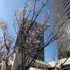 今年も桜咲く、そして無料相談会の再お知らせの画像