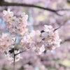 """春がはじまるよ~""""春めきのさくら""""と""""さきがけの桜""""の画像"""
