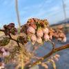 ブルーベリーの花の開花宣言!の画像