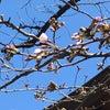 桜開花の画像