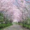 春到来!お花見を楽しもう♪の画像