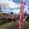 京都淀の河津桜の画像