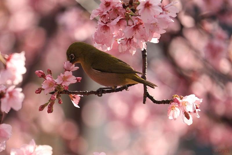 桜とメジロ。桜の花びらにくちばしをツッコんで蜜を吸ってるのかな。