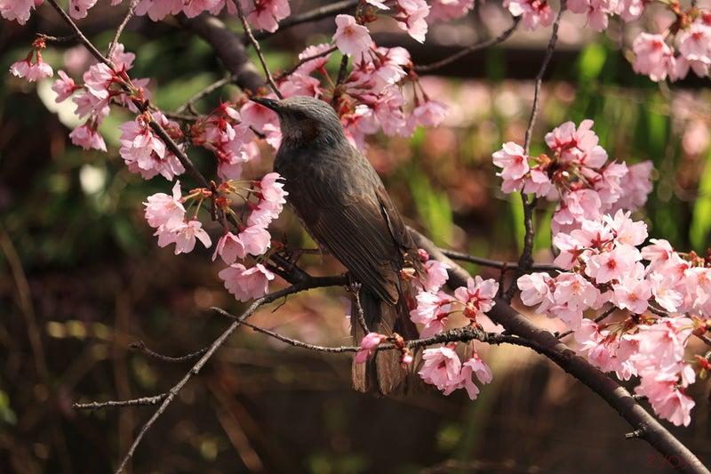 桜とヒヨドリ。ヒヨドリを真ん中に絵になる構図です。