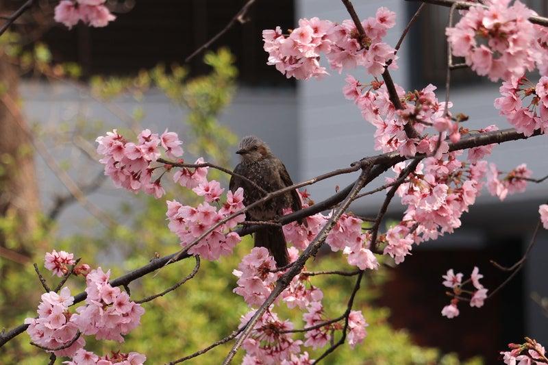 桜とヒヨドリ。枝に止まって休憩でしょうか。