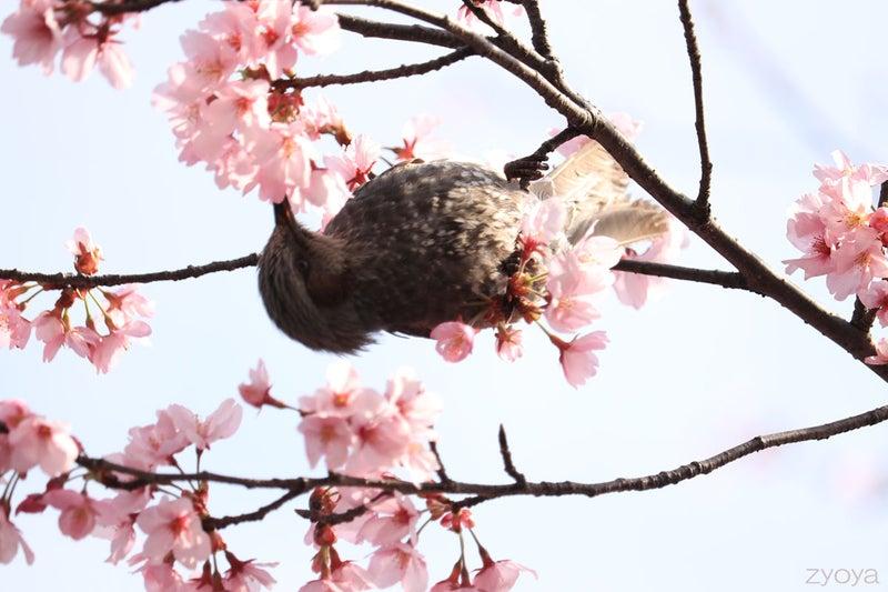 桜とヒヨドリ。桜の枝にぶら下がる感じで逆さになって桜の蜜を吸っています。