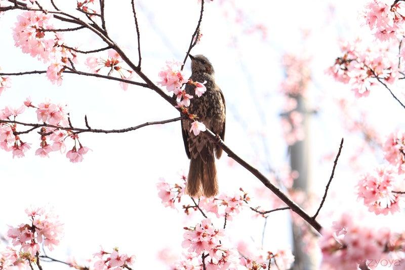 桜とヒヨドリ。ヒヨドリはかっこいいですね。