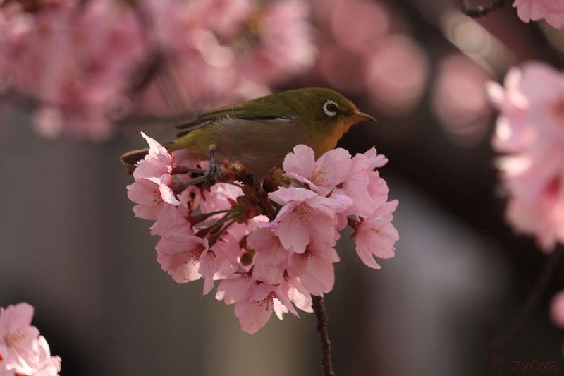 桜とメジロ。桜の上にちょこんと乗ってる感じです。
