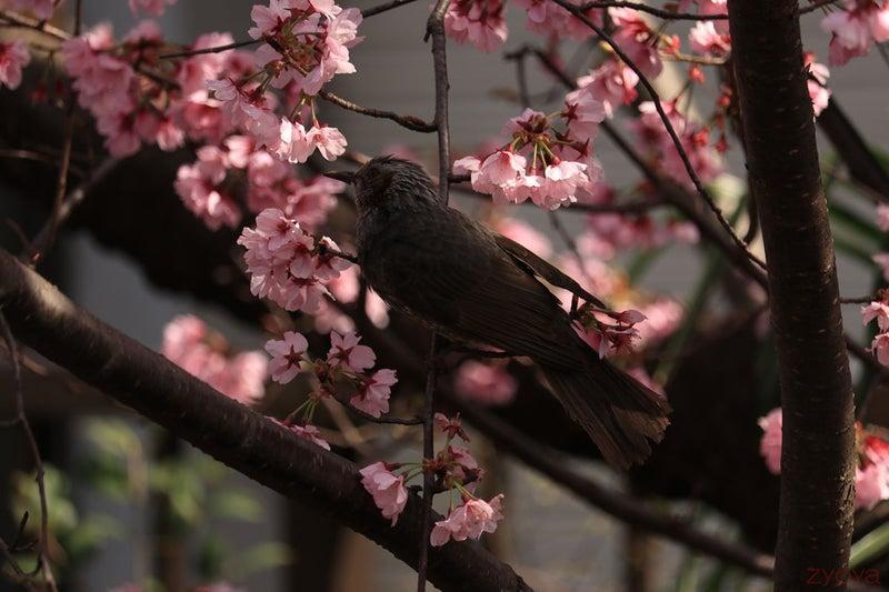 桜とヒヨドリ。桜の中に埋もれている感じです。