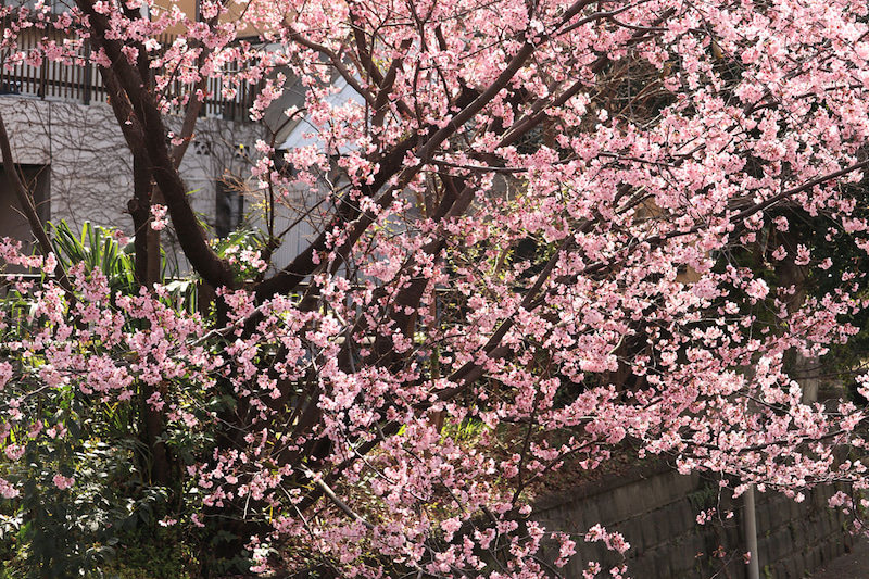 丸子川沿いの早咲きの桜。たぶん河津桜の仲間だと思われます。ピンク色で鮮やかです。こちらに野鳥がわんさか群がっています。