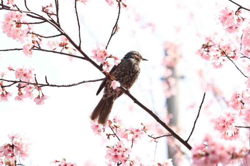 桜とヒヨドリ。枝に止まってる姿がカッコイイです。
