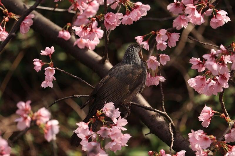 桜とヒヨドリ。桜の花びらにくちばしをツッコんで蜜を吸っているのかな。