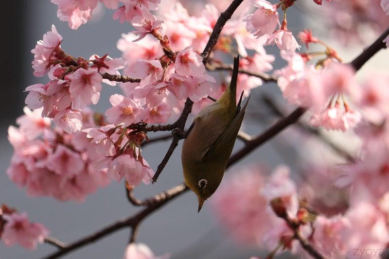 桜とメジロ。下向きに飛び出そうとしているところかな。色が濃くてきれいです。