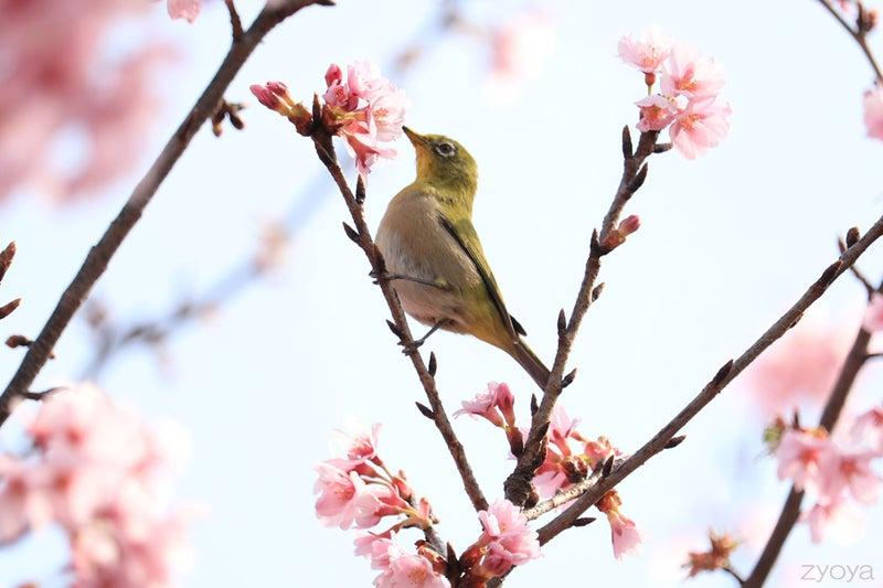 桜とメジロ。枝に止まって桜を見ています。