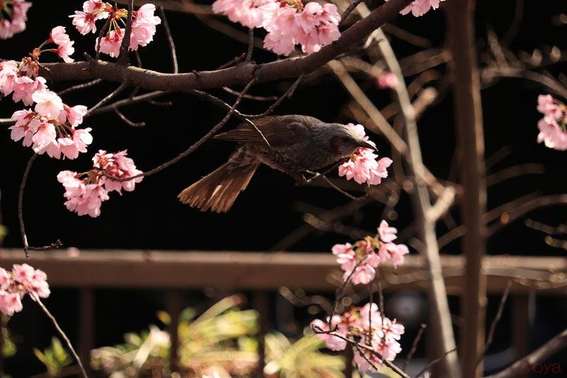 桜とヒヨドリ。枝から飛び立とうとしている瞬間です。