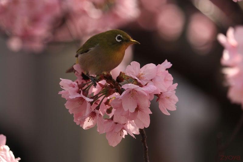 桜とメジロ。桜の上にちょこんと立ってるメジロ。前向きの角度の顔も可愛い。