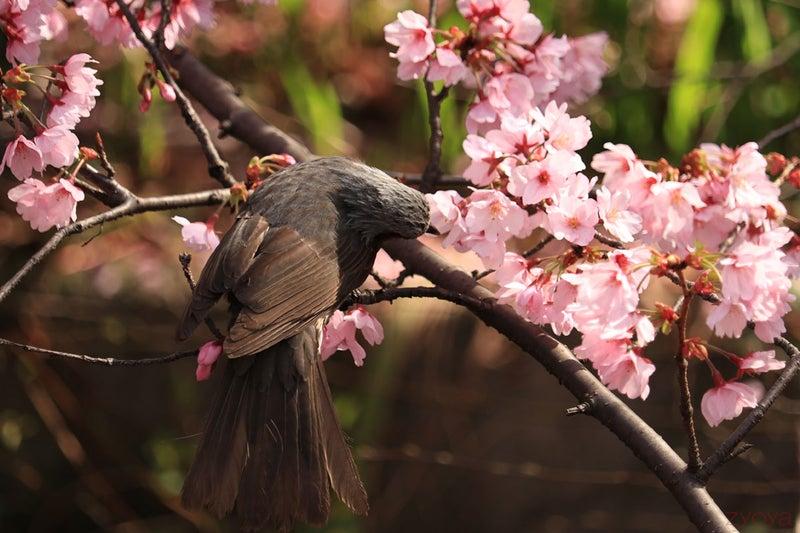 桜とヒヨドリ。首を捻って桜の花をついばんでいます。