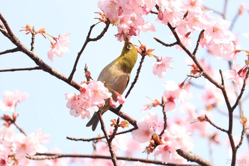 桜とメジロ。桜の花をついばんでいます。