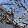 蕾 堅し 寺町の桜の画像