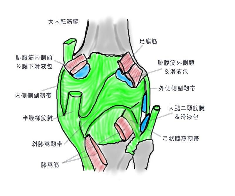 膝窩 解剖