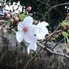 さくら、咲き始めました。の画像