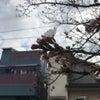 寺町 桜開花宣言の画像