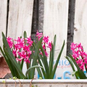 ヒヤシンスの水栽培<その後>土植えしたら花が咲いた♪の画像