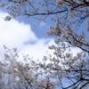 桜の咲き始めに思う事の画像