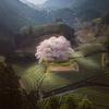 桜が満開となりました。「花粉症」は大丈夫?の画像
