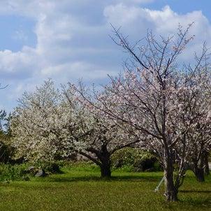 「桜の里公園」 桜島 鹿児島県*2021年3月22日の画像