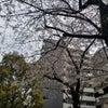 【桜】の画像