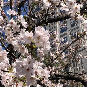 美桜の季節がやってきたの画像