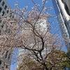 お誕生日に満開の桜の画像