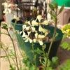 ベランダがささやかに花盛りです。の画像