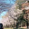 車の中からの桜の画像
