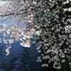 久しぶりの神田川の桜の画像