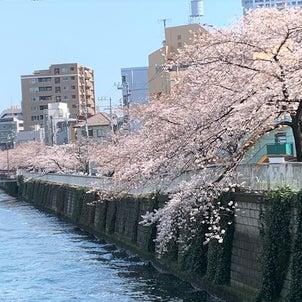 桜と鯉の画像