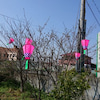桜の季節ですの画像