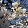 桜が満開ですね〜。の画像