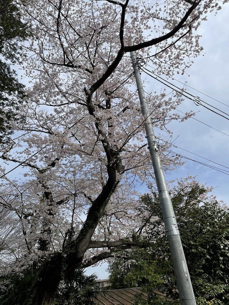 本乗寺の桜2