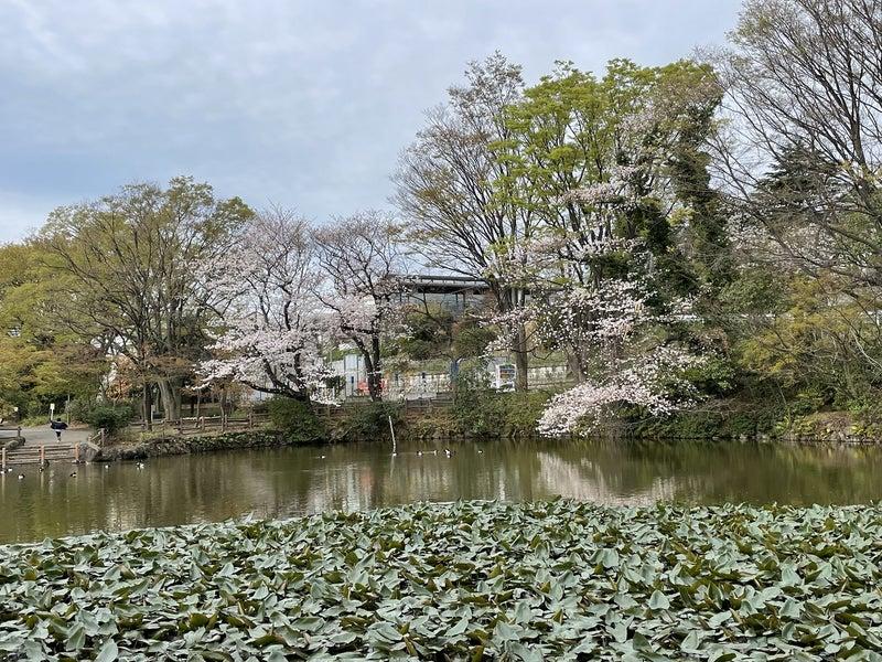 菊名池公園の桜2