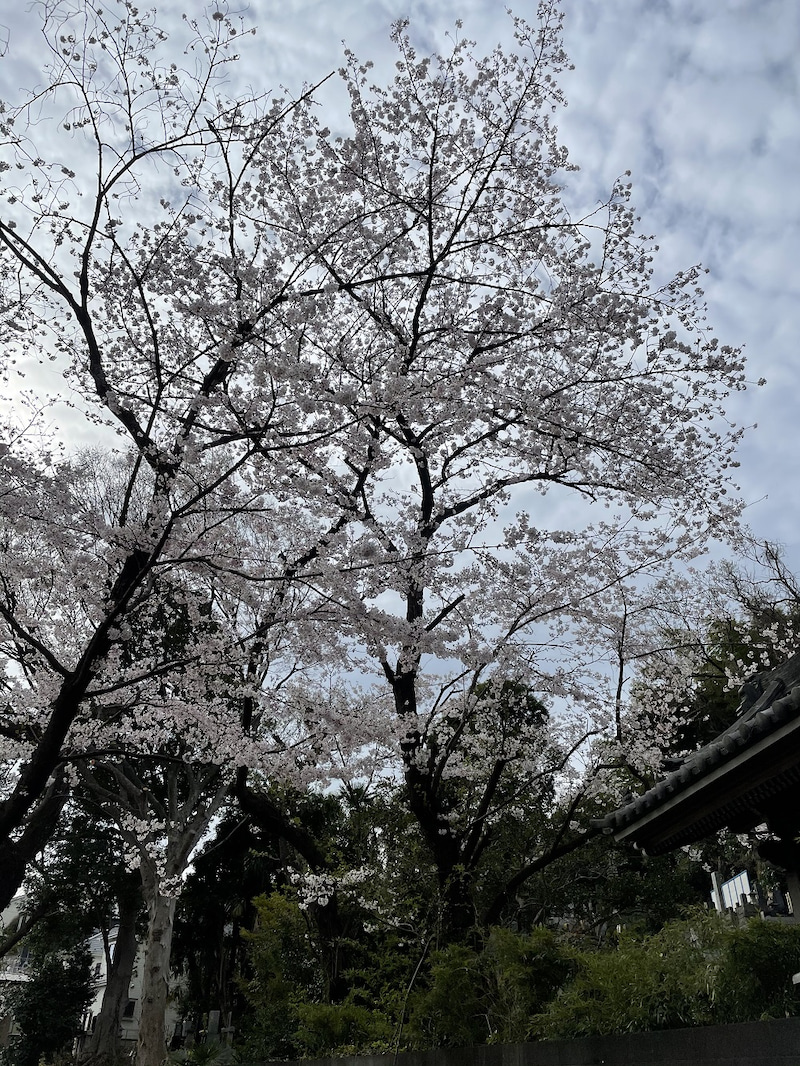 本乗寺の桜1