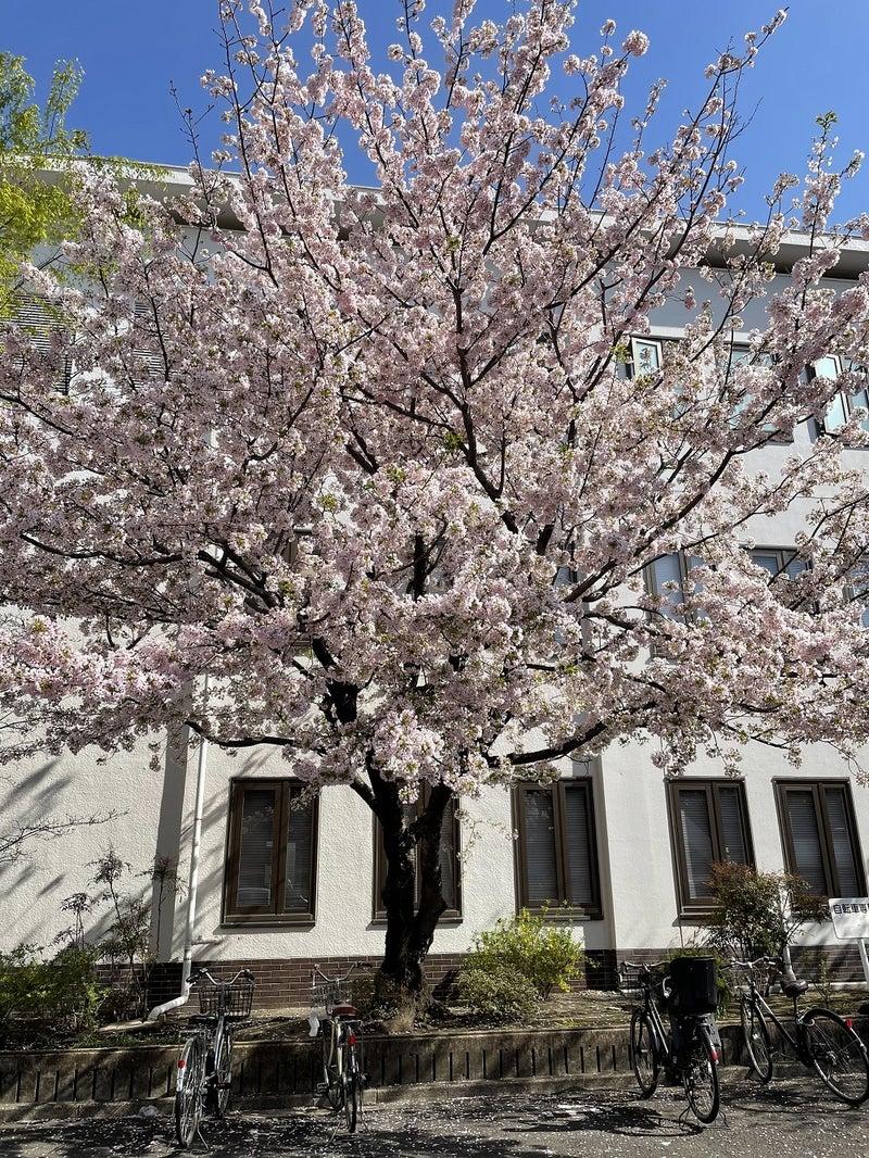 菊名地区センター・港北図書館の桜