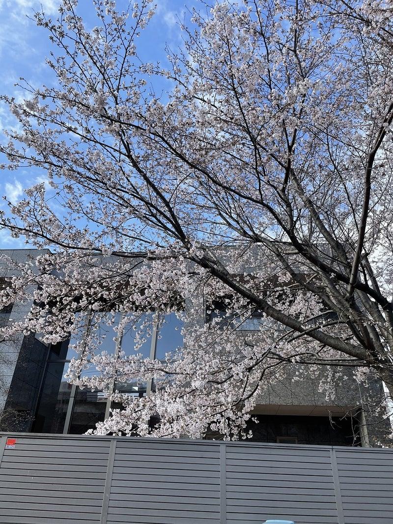 菊名駅の南にある桜
