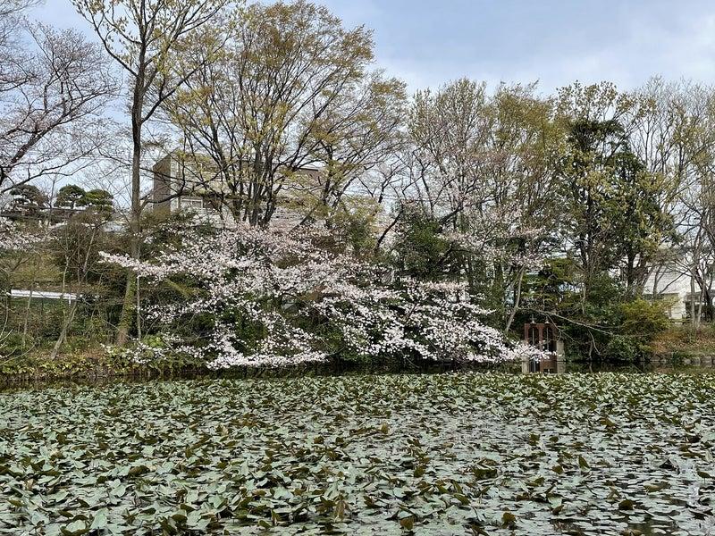 菊名池公園の桜1