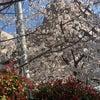 桜が満開です♪の画像